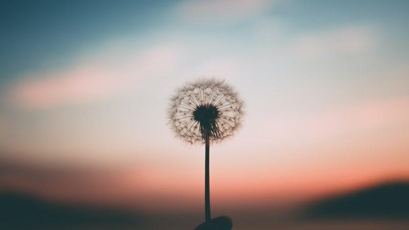 Une fleur de pissenlit sur un crépuscule rose